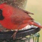 Cómo alimentar cardenales