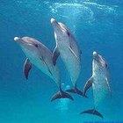 Por quanto tempo um golfinho consegue segurar a respiração?