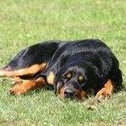 Lesiones de hombro en perros