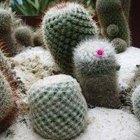 Cómo cultivar cactus desde semilla