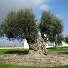 Cómo cultivar un olivos a partir de la semilla