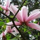 Cómo plantar una semilla de un árbol de magnolia