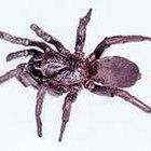 ¿Cómo se reproducen las arañas ctenízidas?