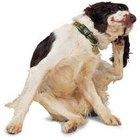 Cómo curar la dermatitis en el perro