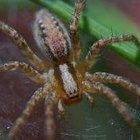 Cómo identificar una araña