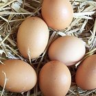 Cómo criar razas de gallinas ponedoras de huevos