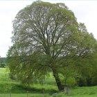 ¿Cuánto tiempo vive un árbol?