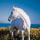 Quais são os tratamentos para sarna corióptica em cavalos?