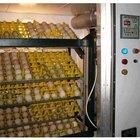 Como aumentar a umidade durante a incubação de galinhas
