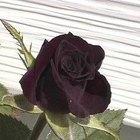 Cómo hacer crecer una planta de rosas negras
