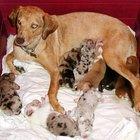 ¿A qué edad puede embarazarse una perra?
