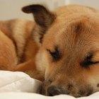 Efectos secundarios de la prednisona en caninos