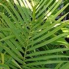 Como cuidar de uma palmeira