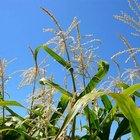 O que são pendões de milho?