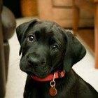 Cómo criar un cachorro de labrador