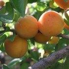 Como cultivar uma árvore de damasco a partir da semente