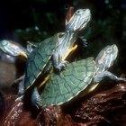 Sobre las tortugas de orejas rojas