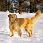 Cómo criar un cachorro Golden Retriever