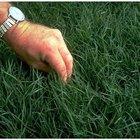 Como plantar grama jiggs