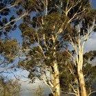 Cómo plantar árboles de eucalipto