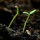 Qué es una planta dicotiledónea
