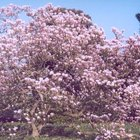 ¿Cómo puedo lograr que un esqueje de magnolia eche raíces?