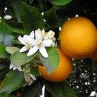 Como curar doenças em uma laranjeira