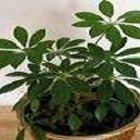 Cómo cuidar una planta del géneto Schefflera
