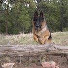 Cómo entrenar a un pastor alemán para que sea un perro guardián