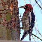 ¿Qué alimentos humanos pueden usarse para alimentar a las aves silvestres en el invierno?