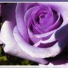 Comprar rosas azules para sembrar
