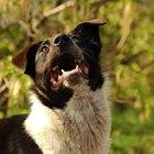 Sobre cães que rangem os dentes