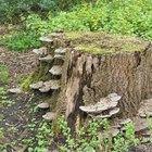 Remedios caseros para la eliminación de raíces de árboles y tocones