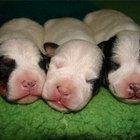Estágios de desenvolvimento do filhote de cachorro durante a gravidez