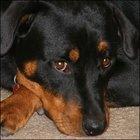 Medicamentos sedativos prescritos para cães