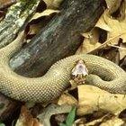 O habitat da cobra boca de algodão