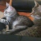 Información del cromosoma de los gatos