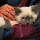 Cómo esterilizar o castrar a tu gato sin costo o a un precio bajo