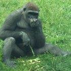 Acerca del aprendizaje de primates del  lenguaje de señas