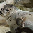 Descripción de las focas