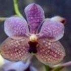 Cómo cuidar de la Orquídea Vanda
