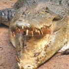 Partes del cuerpo de un cocodrilo