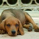 Por qué le da fiebre a los perros