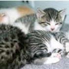 Clindamicina para doenças felinas