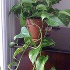 A melhor maneira de plantar hera em vaso