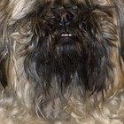 Consejos para peinar el pelo de la cara de un perro Shih Tzu