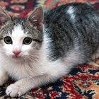 Cómo hacer que un gato deje de defecar en la alfombra