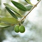 Cómo plantar un olivo de una semilla