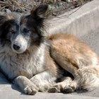 Cómo diagnosticar la sarna sarcóptica en los perros