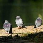 Cómo deshacerse de las palomas en el patio trasero